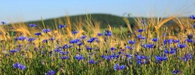 Fototapeta Blue cornflowers w polu pszenicy.