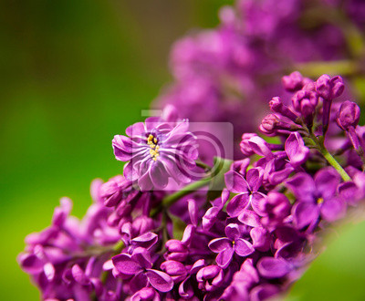 Fototapeta Branch of lilac flowers with the leaves, floral background
