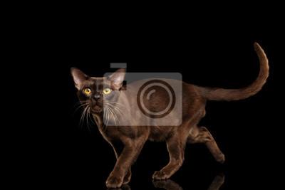 Brązowy Kot Birmański Bieganie I Patrząc W Górę Chodzenie Na
