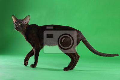 Brązowy Kot Syjamski Oriental Krótkowłosy Z Zielonymi Oczami
