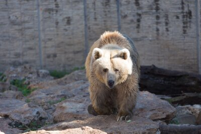 Fototapeta Brązowy niedźwiedź