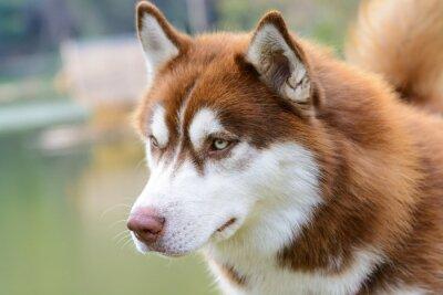 Fototapeta Brązowy siberian husky pies stojący
