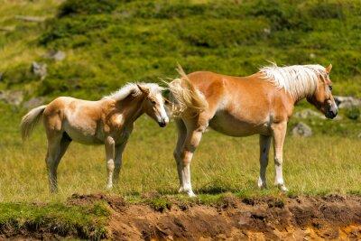 Fototapeta Brown and White klacz ze źrebięciem / brązowy i biały koń z źrebię w górach. Park Narodowy Adamello Brenta, Trentino Alto Adige, Włochy