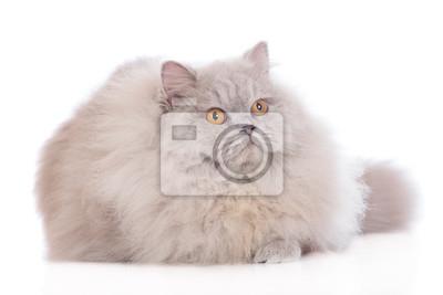Brytyjski Długowłosy Kot Fototapeta Fototapety Długie Włosy Alarm