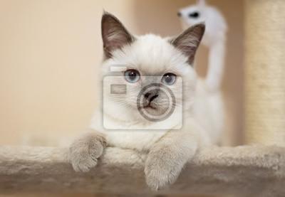 Brytyjski Kot Liliowy Punkt Kotka Fototapeta Fototapety Kociak