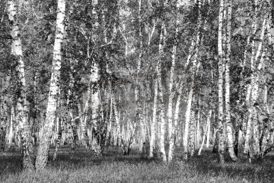 Fototapeta brzoza, czarno-białe zdjęcie