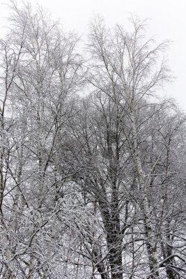 Fototapeta brzoza drzewa pokryte śniegiem