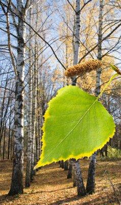 Fototapeta brzoza drzewa w parku bliska