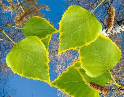 Fototapeta brzoza drzewa w parku zbliżeniu