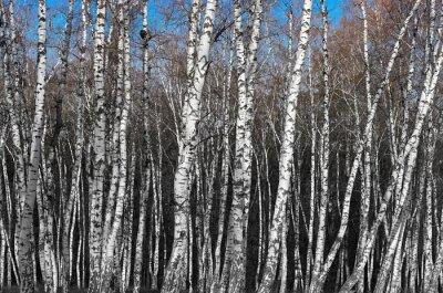 Fototapeta Brzozowy Gaj, czarny i biały gradientu