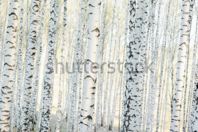 Fototapeta brzozowy las w słońcu rano