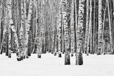 Fototapeta Brzozowy las zimą w czerni i bieli