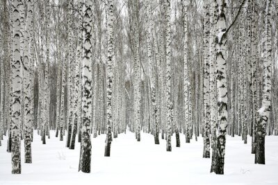 Fototapeta Brzozowy las zimowy