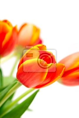 Fototapeta Bukiet tulipanów na białym tle