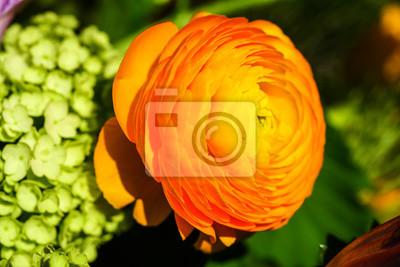 Fototapeta Bukiet z żółtym ranunkulyus na tle zielonych liści