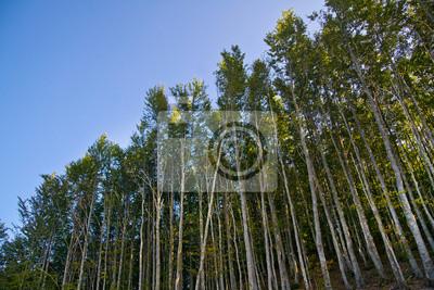Fototapeta Bukowy las w lecie