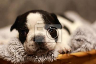 Buldog Buldog Francuski Szczeniak Czarny Biały Uroda Pies