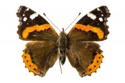 Fototapeta Butterfly Red admirał