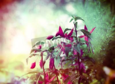 Fototapeta Całkiem Fuchsia kwiaty na letni ogród tle bliska stonowanych
