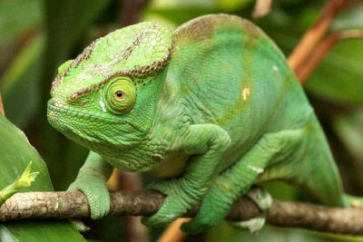 Fototapeta Camaleão em Madagaskar