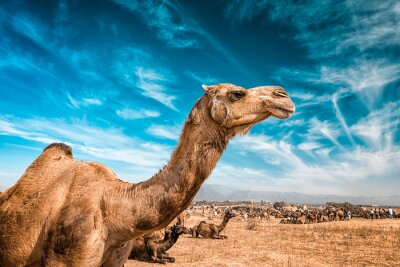 Fototapeta Camel w Indiach