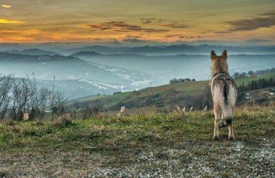 Fototapeta Cane Lupo