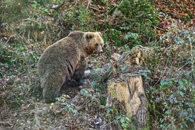 Fototapeta Carpathian Brown Bear