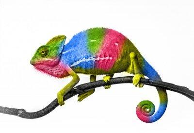 Fototapeta Chameleon - kolory