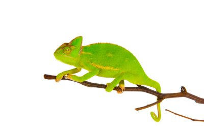 Fototapeta Chameleon na gałęzi