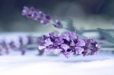 Fototapeta Cloce się kwiat lawendy