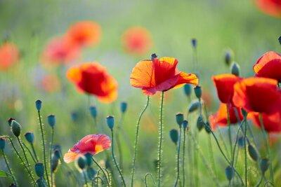 Fototapeta Close up od poppy flower