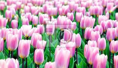 Colorfu pinkl tulipany w ogródzie. Kekenhof - Holandia