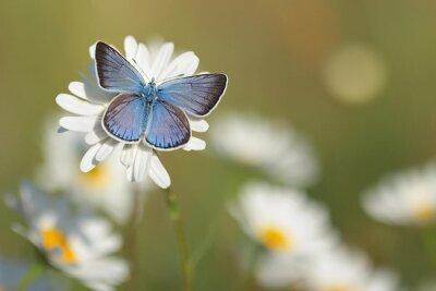 Fototapeta Common Blue Butterfly