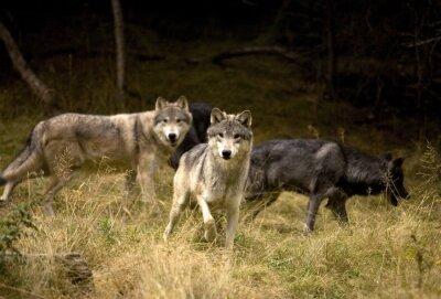 Fototapeta Curious Wolves in field