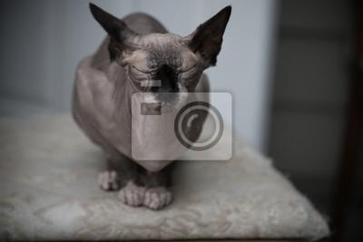 Cute Kanadyjski Sfinks Bez Włosów Kot Odpoczynku Sam Tło Fototapeta