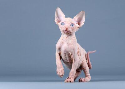 Fototapeta Cute kitten sfinks