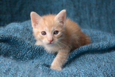 Fototapeta Cute little kitten na niebieskim tle koc
