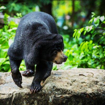 Fototapeta czarne niedźwiedzie