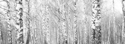 Fototapeta czarno-białe zdjęcie z białymi brzozami z kory brzozy w gaju brzozowym