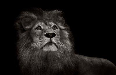 Fototapeta czarno-biały lew
