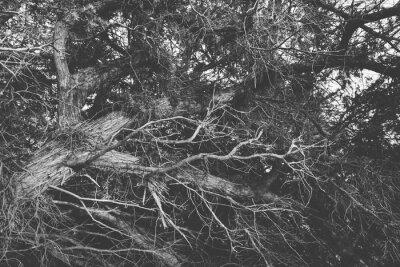 Fototapeta Czarno-biały zamknąć na skręconych gałęzi bezlistnych. Organiczne b