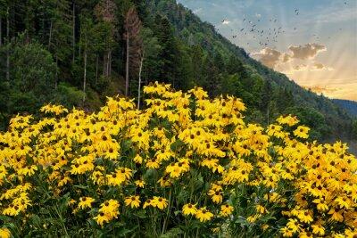 Fototapeta Czarno-eyed susan kwiaty i rano niebo w czarnym lesie Niemcy