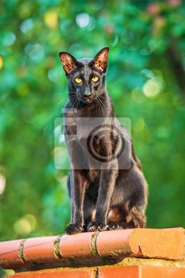 Czarny Kot Na Zewnątrz Orientalne Fototapeta Fototapety Piękny