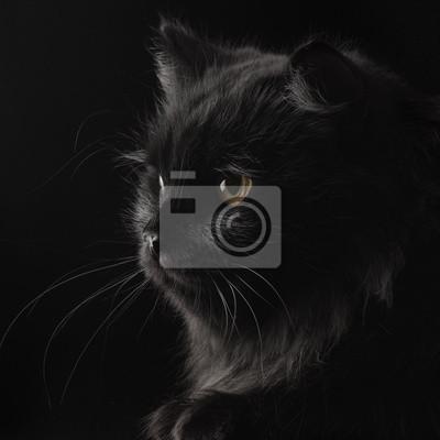 Czarny Kot Perski Na Czarnym Tle Fototapeta Fototapety Perski