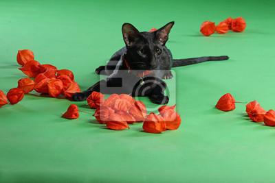 Czarny Kot Syjamski Oriental Krótkowłosy Z Zielonymi Oczami