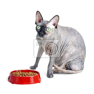Czarny Lub Niebieski Sfinks Kanadyjski Kot Z Zielonymi Oczami