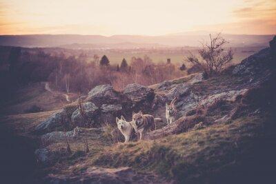 Fototapeta Czechosłowacki Woflshundrudel wolny bieg w górach
