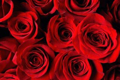 Fototapeta czerwona róża w tle