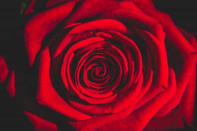 Fototapeta czerwona róża z ciemności
