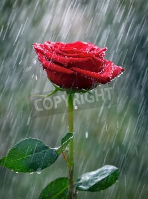 Fototapeta Czerwona róża z waterdrops w deszczu